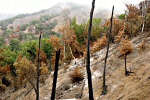 Sudden Oak Death Plus Wildfire: A Natural Experiment