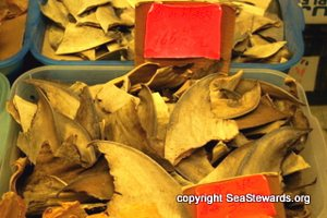 Shark Fin Trade Puts Sharks At Risk
