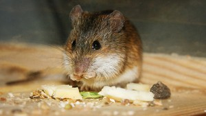 Missing Gene Suggests Rodents Aren't The Best Model For Diabetes Research