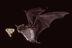A Mexican free-tailed bat hunts a corn earworm moth.