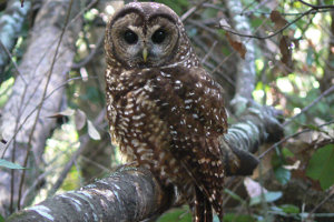 Spotted Owls Face New Threat