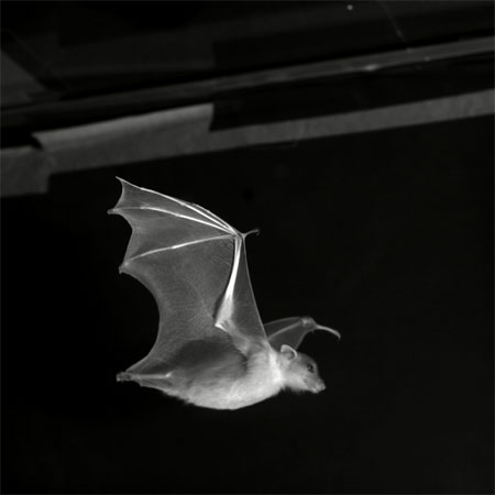 Bat Flight a Mechanical Marvel