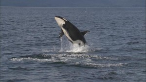 Science on the SPOT: Sound Waves - Listening to Orcas
