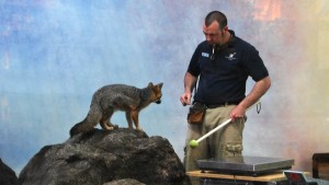 Cool Critters: The Gray Fox