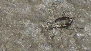 Science on the SPOT: Salt Creek Tiger Beetles