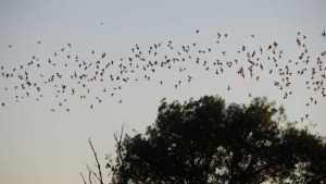 Mexican free-tailed bats fly out at sunset