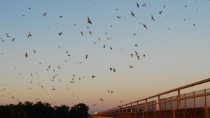 Science on the SPOT: Bats Beneath Us