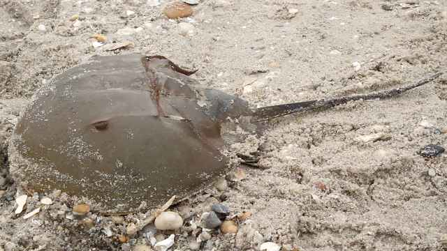 Horseshoe crabs are related to spiders and scorpions.