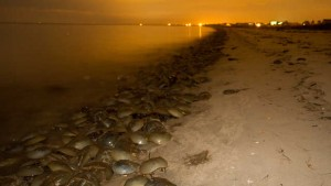 Horseshoe crabs crowd onto the beach at night.