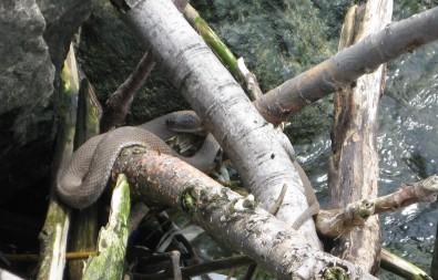 Lake Erie Water Snake (LEWS)