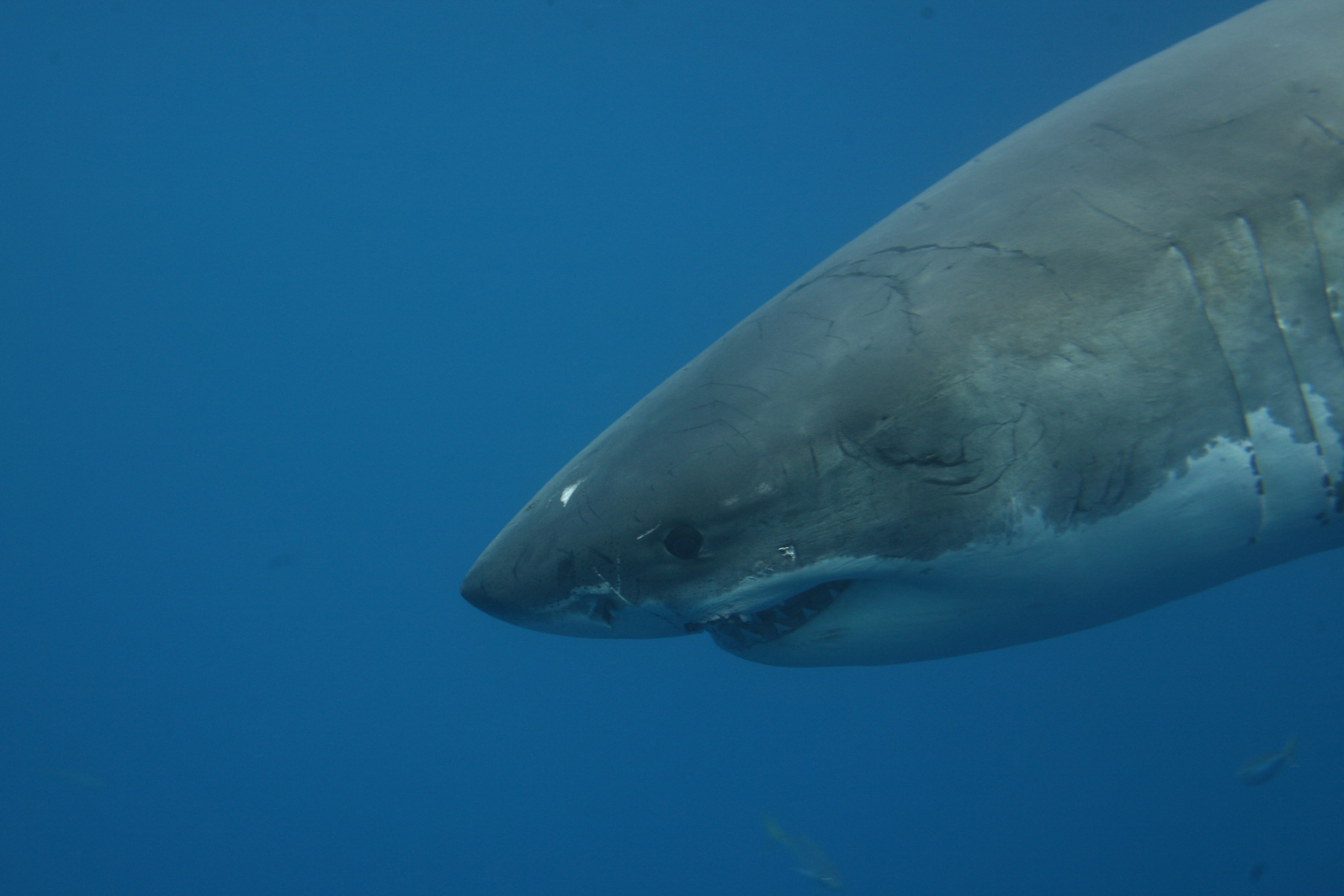 guadalupe island protecting sharks through ecotourism quest the shark slides effortlessly upwards the gunmetal back blending imperceptibly from the backdrop of the deep blue sea it isn t until the animal turns
