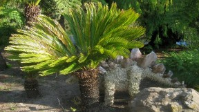 "Cycads: No Longer ""Living Fossils"""