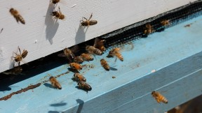 New Research into Disappearing Bees