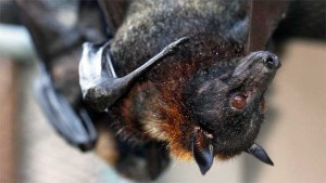 'Superfast' Muscles Help Bats Find Their Dinner