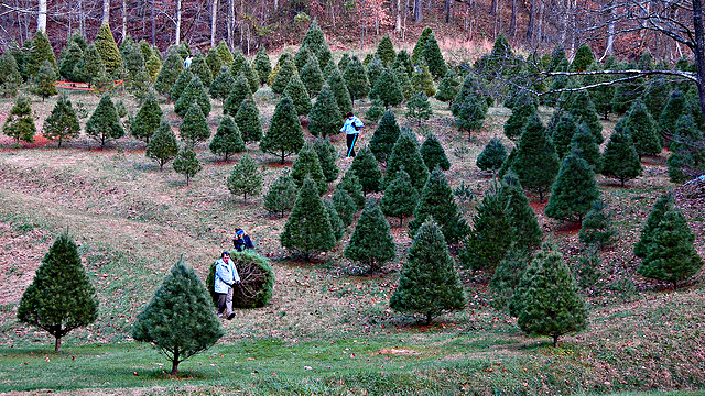 O perfect christmas tree quest kqed science How to dress the perfect christmas tree