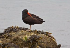 Oyster catcher.  Photo, Alan Krakauer