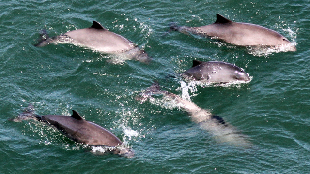 Porpoises Return to San Francisco Bay