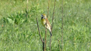 Dickcissel - a grassland bird. Photo Credit: Amy Larson