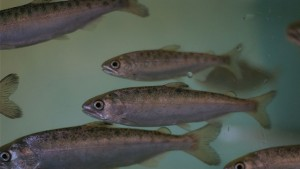 Endangered coho salmon smolts