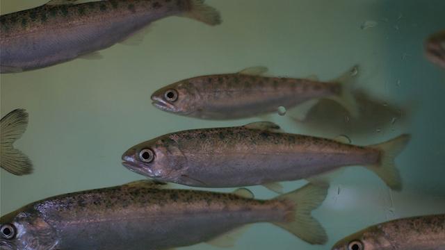Endangered coho salmon smolts