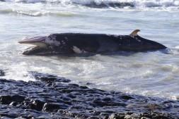 Stranded minke whale