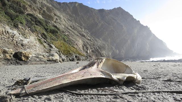 Whale skull on beach