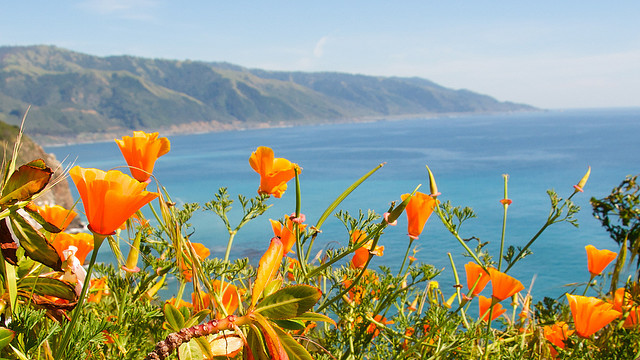 Poppies on Big Sur Coastline