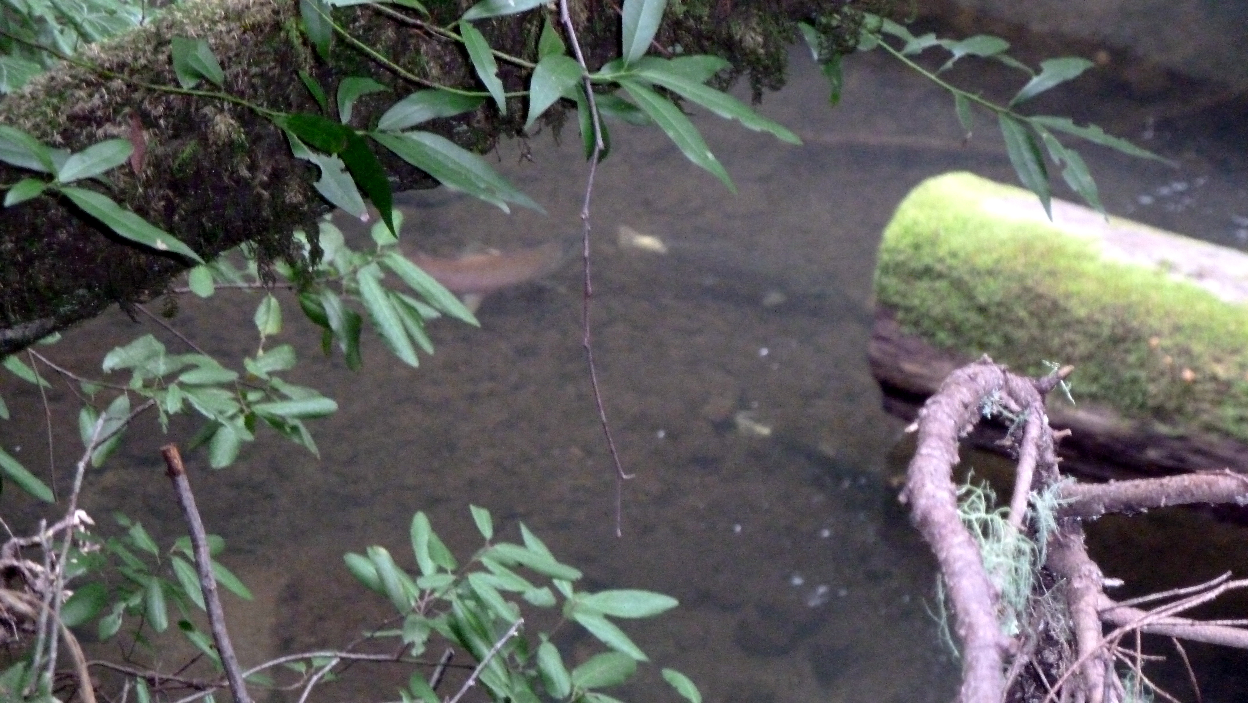 A male (left) and two female coho return to their natal stream in Lagunitas Creek to spawn.