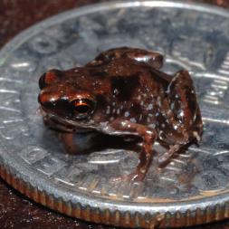 Dwarf frog