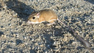 Giant kangaroo rat in San Joaquin Valley