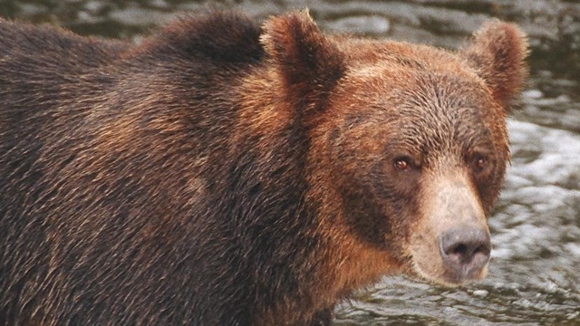 A grizzly bear in British Columbia. It's California cousin, Ursus horribilis californicus, is long extinct. (Photo: Charlesjsharp)