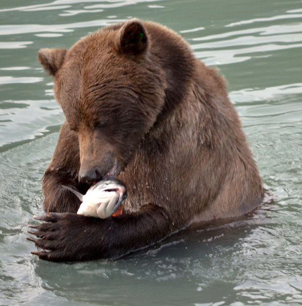 grizzly with salmon