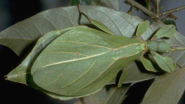 Leaf insect camouflage