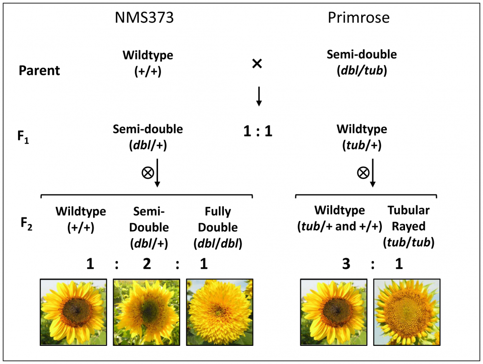 Van Gogh's Sunflowers - Figure 2
