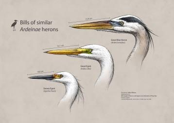 50-Bills of Ardeinae Herons-Jillian Walters