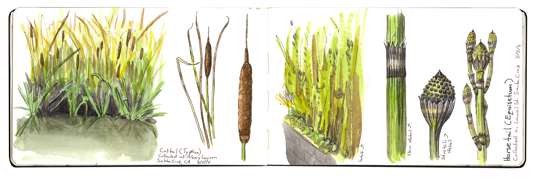 Marsh plants in sketchbook by Emily Coren (walkaboutem.com)