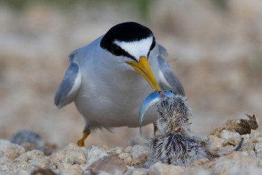 Least tern offers fish to newly hatched chick by Dan