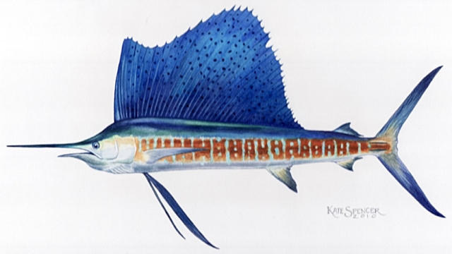 Indo-Pacific Sailfish by Kate Spencer