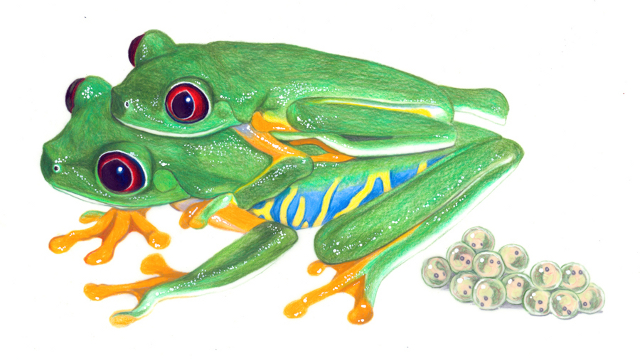 Red-eyed Tree Frogs by Laurel Mundy.