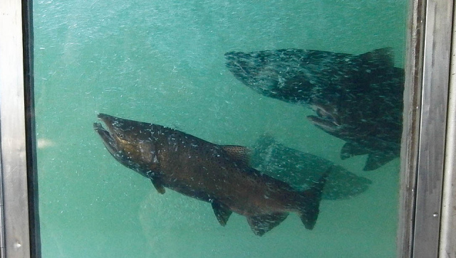 The Good and Not-So-Good News About California Salmon
