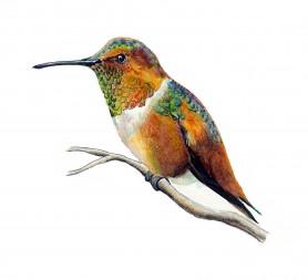 Allen's Hummingbird by Karen Talbot