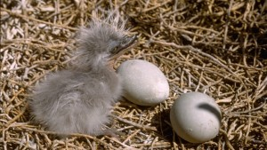 heron chick with eggs