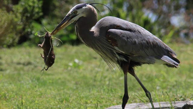 gopher-hunting heron