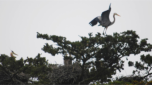 herons in tree