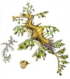 Leafy Sea Dragon by Natalia Wilkins