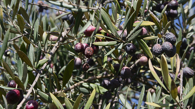 Olives left on the tree