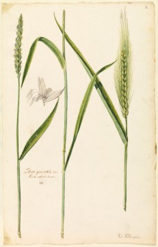Botanical study of white wheat