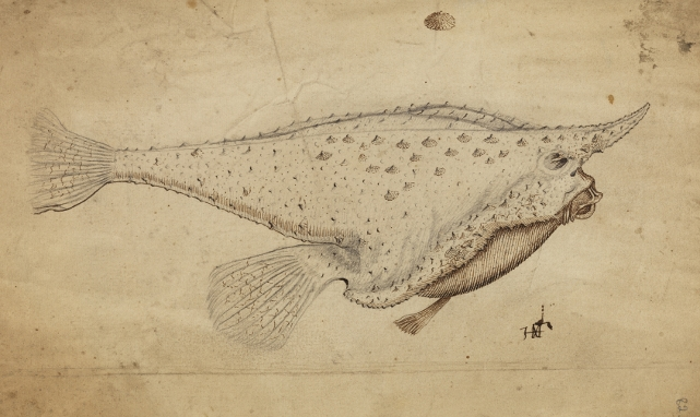 Longnose batfish from Historia Piscium