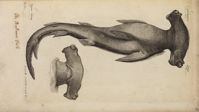 Study of a hammerhead shark from Historia Piscium