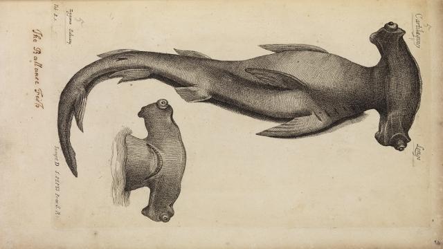 Study of a hammerhead shark from Historia Piscium
